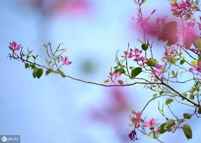 作家冰心的经典语录文案20句: 一个人应像一朵花,不论男人或女人。插图1