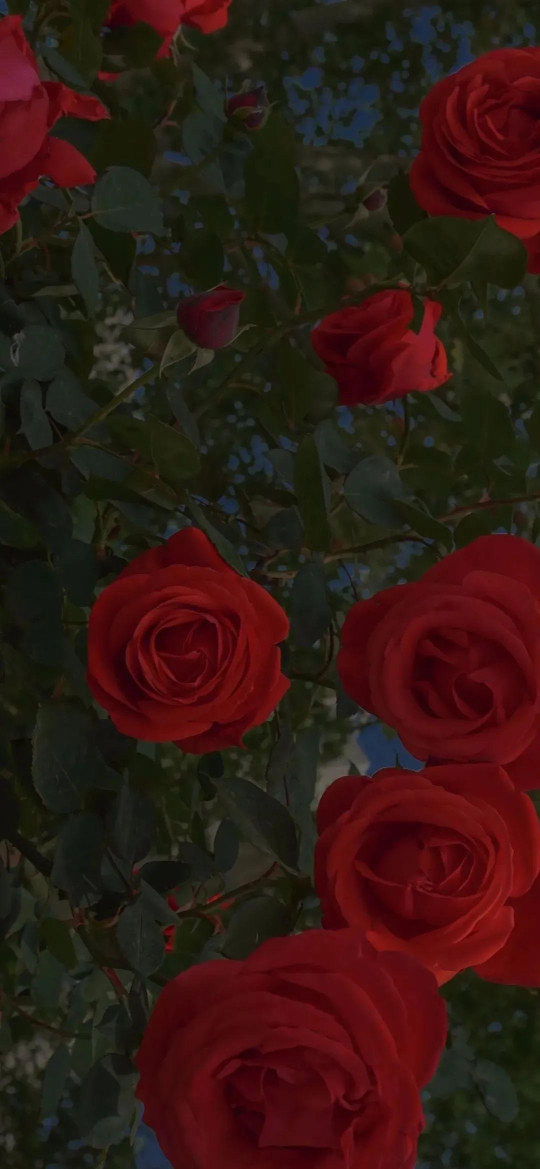 朋友圈经典的关于玫瑰的文案:玫瑰花期到了,我很想你。插图